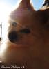 DSC_0001 (zoo2292) Tags: bear dog puppy doggy pomeranian pompom