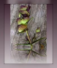 Seeds : Rhinanthus minor - Yellow Rattle (Edinburgh Nette) Tags: vw seeds wildflowers june11 rhinanthus