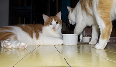 kitty perspectives (davedehetre) Tags: orange feet water yellow cat fur floor perspective kitty bowl paws