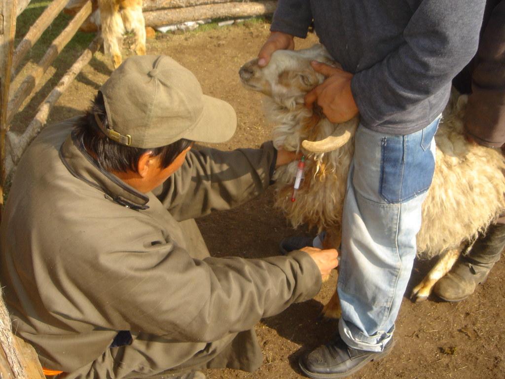 Surveillance des maladies : Prise de sang sur un bélier pour dépistage de la brucellose, Sum de Onder-Ulaan (Bag de Belkhi), Arkhangaï, Mongolie