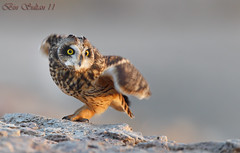 Short-eared Owl    () Tags: bird birds bin owl sultan qatar  birdwatchers     shorteared
