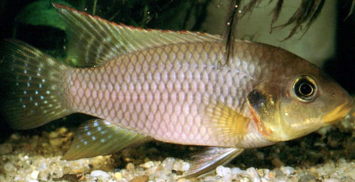 Benitochromis Riomuniensis Male, Malawi. Photo by Randall Brummett, 2004
