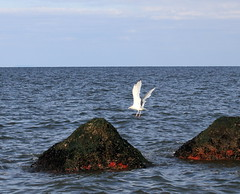 Blue Mussels, Gull, and Sponge (sandy richard) Tags: longisland beaches wildwood wildwoodstatepark sandyrichard sandrarichard