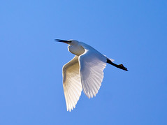 EGRET ON BLUE (jdoakey) Tags: uk greatbritain blue autumn light england sky colour detail bird eye beautiful up animal fly flying wings pretty day britain gorgeous altitude sony great norfolk flight wing beak feathers feather clear stunning norwich british lovely alpha soaring gliding dslr favourite fen egret animalplanet oakley clearsky bif birdinflight strumpshaw a55 thewildlife strumpshawfen flickraward avianexcellence dslt flickraward sonya55 theinspirationgroup