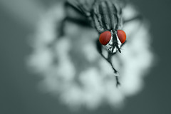 Fly (Norbert Krlik) Tags: colour macro fly selective canonef100mmf28macrousm canoneos40d