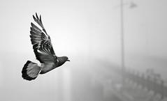 british airways (Modestas J) Tags: saved morning bridge bird thames river fly saved5 pigeon deleted2 saved2 saved10 ne deleted saved3 saved4 brume erith saved6 saved7 saved8 saved9 taip savedbythedeltemeuncensoredgrou ne2 taip2 taip5 taip7 taip10 taip3 taip4 taip6 taip8 taip9 fotofiltroauksas