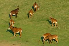 Antelope herd at Wild Animal Park in Escondido-02 11-12-07