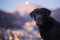 blue hour over home-village. and over bruno (dapalmerpeter (slow & low)) Tags: blue dog grden st night labrador takumar bokeh chocolate retriever val hour ulrich 85 bruno gardena ortisei dolomits dapalmerpeter highqualitydogs highqualityanimals