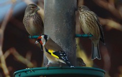 Redpolls And Goldfinch (aaron_eos_photography) Tags: autumn sun nature birds canon garden lunch wildlife goldfinch sigma sunny starling tuesday birdsinflight chaffinch redpoll collareddove gardenbirds 170500mm
