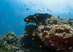 reef8889 (gerb) Tags: blue topv111 coral 510fav topv333 underwater scuba fisheye reef tvp anthias similanislands aquatica baitfish d7000 sigma1017fe