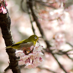 2012 White-eye and Cherry blossoms (shinichiro*) Tags: flower macro birds japan tokyo march spring  getty  crazyshin 2012 whiteeye  afsvrmicronikkor105mmf28gifed  order500 nikon1v1 cgerryblossoms 20120320dsc6174 2012 2012q1fav5