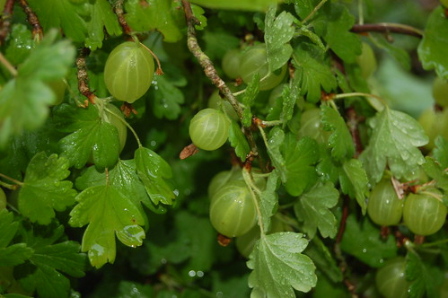 gooseberry June 11