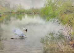 Swan in the Mist (h_roach) Tags: seattle park white mist bird fog swimming swan washingtonstate smrgsbord