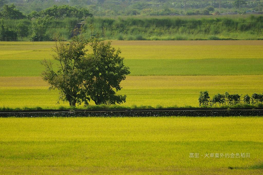 台東小旅行 - 火車窗外的金色稻田s