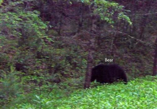Black Bear copy