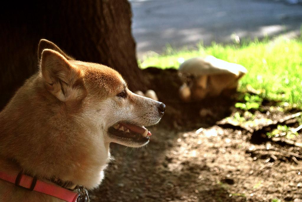365-21b Mushroom Dog