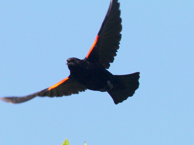 Red-winged Blackbird 20110704
