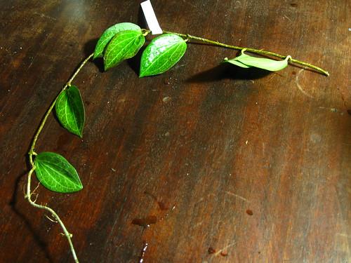 Hoya hellwigiana - PNG (IML 1101)