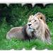 PROUND LION