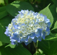 Early Blooming Hydrangea (mimicapecod) Tags: summer hydrangea summerflowers flowetrs flickrsfantasticflowers naturescarousel