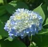Early Blooming Hydrangea (mimicapecod) Tags: summer hydrangea summerflowers flowetrs flickrsfantasticflowers naturescarousel