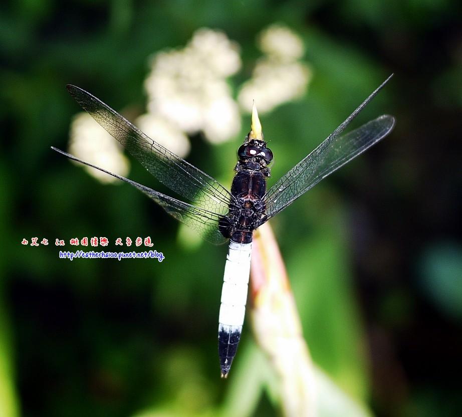 28 小小蜻蜓