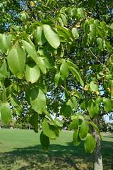 Common Walnut (coconinoco) Tags: autumn tree nature brockwellpark juglansregia commonwalnut