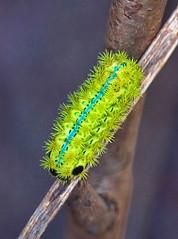 Latoia consocia,  (aeschylus18917) Tags: macro nature japan nikon g moth  lepidoptera caterpillar micro  nikkor nagano f28 pest vr larva pxt naganoprefecture  invasivespecies 105mm insecta azumino 105mmf28  naganoken   limacodidae 105mmf28gvrmicro limacodinae azuminoshi d700 nikkor105mmf28gvrmicro   nikond700 danielruyle aeschylus18917 danruyle druyle   bluestripednettlegrub parasalepida nettlecaterpillar   latoiaconsocia