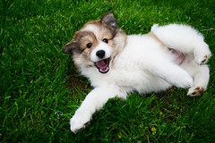 Eskland Pup (sarahh johnson) Tags: dog nature grass animals puppy nikon wildlife sheltie eskimo eskland d3100