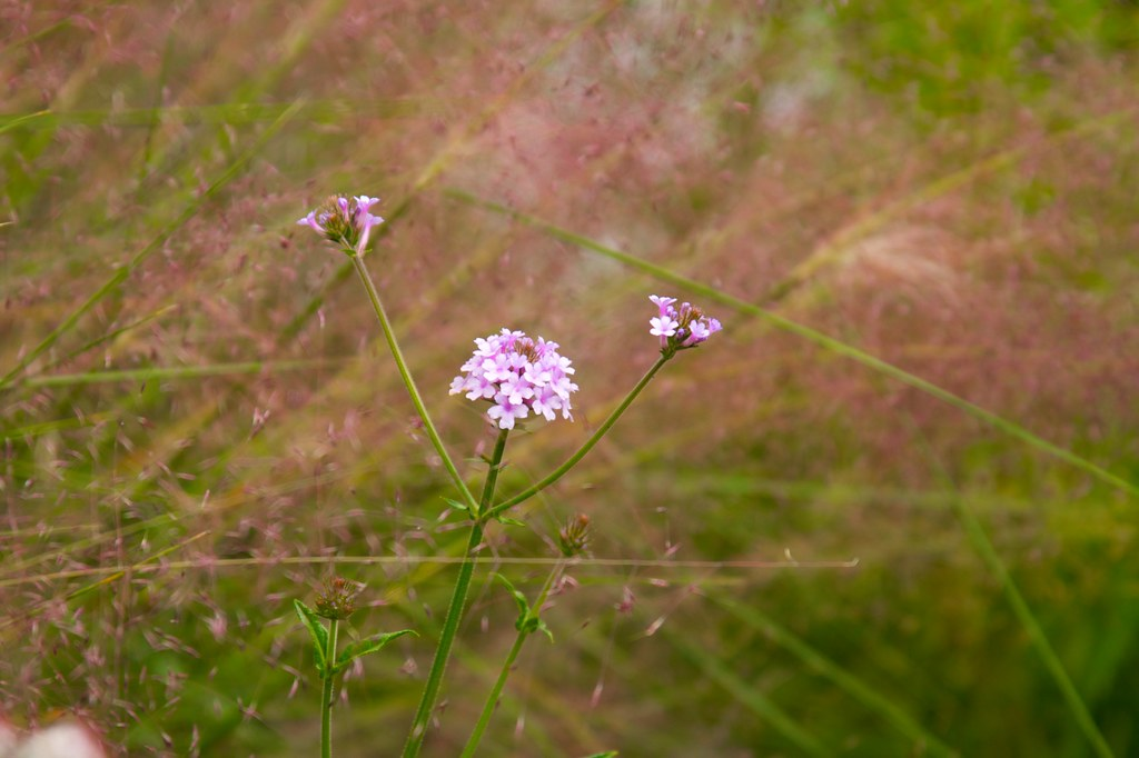 verbena ridiga and muhlenbergia  646