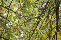 Hidden in the Trees (MecCanon [DatAperture]) Tags: autumn trees newyork green bird fall nature birds yellow canon is wildlife branches bluejay hidden mm geographic 55250 t1i meccanon