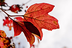 Autumn Maple leaf (2) (© Freddie) Tags: essex thurrock grays chaffordhundred chaffordgorges warrengorge 105mmf28gvrmicro nikkor105mmf28gvrmicro fjroll fjrollcom ©freddie