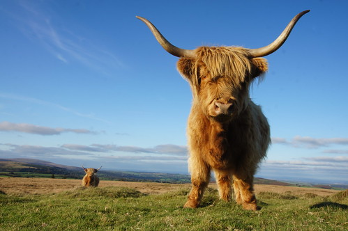 Highland cattle on Dartmoor by CharlesFred