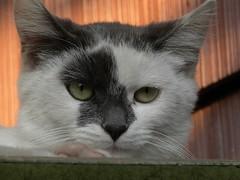 Molly (k2sleddogs) Tags: cats cat feline molly kitties felines furballs k2sleddogs