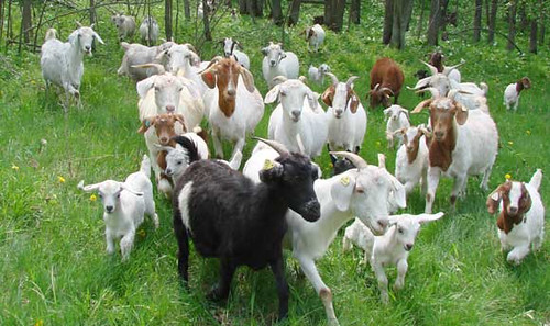 Goats in a natural meadow. Browse and Grass Farmer Association, an independent association focused on grass-fed sheep and goats in Downing, Wisconsin, will expand their offerings to local consumers and increase training in good agricultural practices (GAP) through a project supported by USDA's Farmers Market Promotion Program. (Photo courtesy browseandgrass.org.)