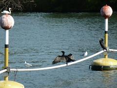 Mme les cormorans bronzent (ManuB.) Tags: france water birds seine eau europe ledefrance 94 animaux oiseaux fleuve valdemarne vitrysurseine parisregion