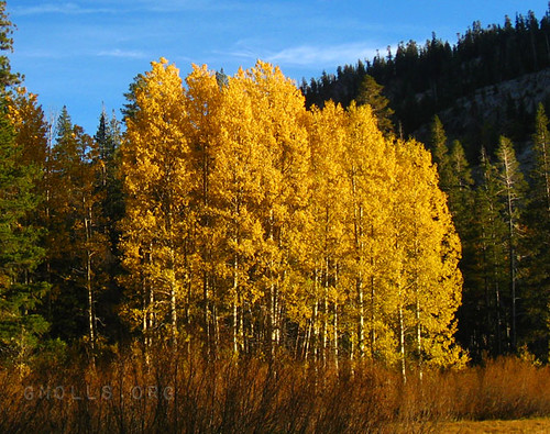 Aspens in full color