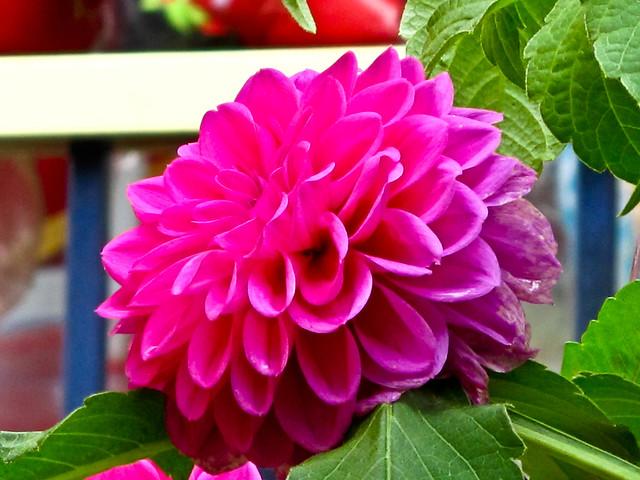 IMG_2291 Pink Dahlia- 粉红大丽花