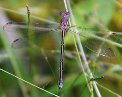 Female Great Spreadwing Damselfly (milesizz) Tags: wisconsin milwaukee damselfly wi spreadwing odonata lestidae seminarywoods archilestesgrandis greatspreadwing