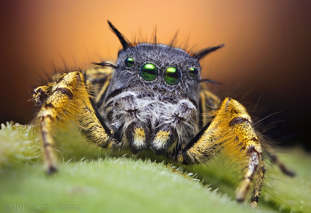 adult male jumping spider at sunset phidippus mystaceus thomas shahan tags sunset