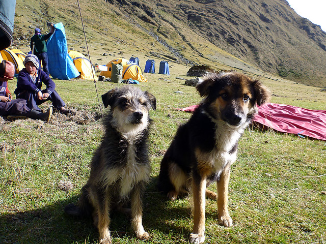 Camp dogs
