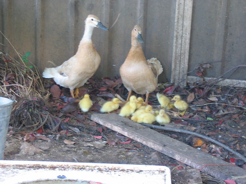 Ducklings Nov 2011