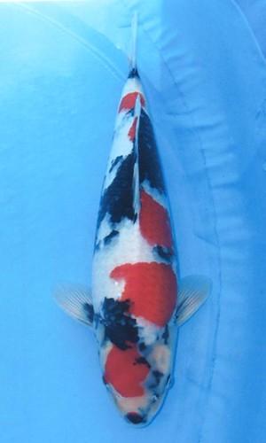 Nagashima Showa 52cm