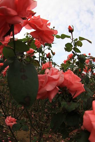 Autumn Rose at Yono park