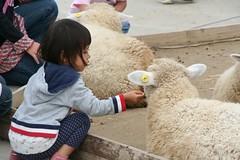 羊に餌をやろうとして拒否される