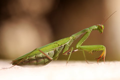 showing off (hans solcer) Tags: animals mantis insect