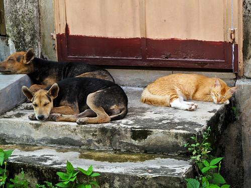IMG_0236 Let's take a nap ! The story of a cat and dogs,和睦共处