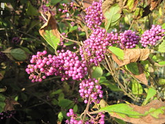 Violet beads and berries IMG_4028 (tomylees) Tags: autumn october berries purple violet saturday shrub essex 29th braintree 2011 causewayhouse bockingend