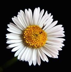 A556 (lumenus) Tags: flowers fantasticflower wonderfulworldofflowers