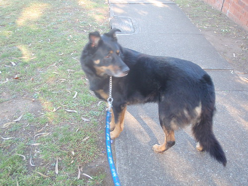 Gsd Dog Rescue Nsw
